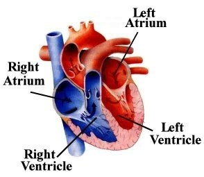 Basic anatomy of the human heart the cardio research web project 2 the four cardiac valves the heart valves allow blood ccuart Gallery