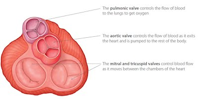 Basic anatomy of the human heart the cardio research web project one of the atrioventricular valves located between the right atrium and right ventricle and ensures the flow of blood from the right atrium into the right ccuart Image collections