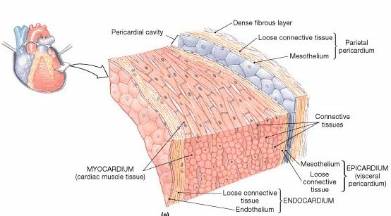 Basic anatomy of the human heart the cardio research web project the pericardium fixes the heart to the mediastinum gives protection against infection and provides the lubrication for the heart ccuart Choice Image