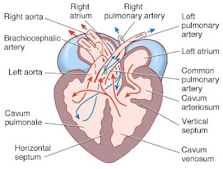 Heart anatomy on different vertebrates the cardio research web project in times of oxygen deprivation diving in some reptiles consumption of large prey in snakes reptiles can shunt blood away from the lungs ccuart Gallery